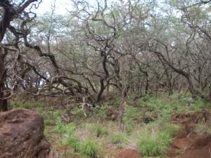 kiawe_trees